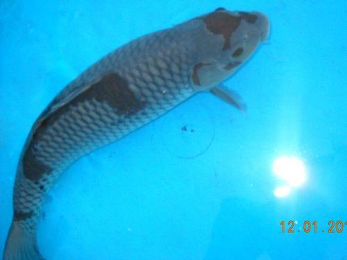 Other fish products koi ochiba shigure 46cm possible for Ochiba koi fish