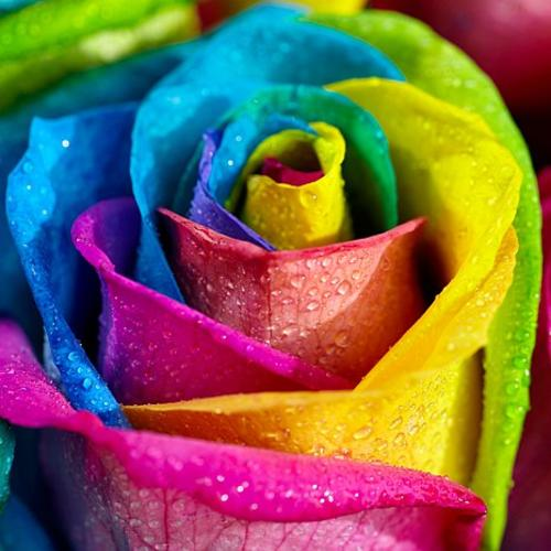 Roses rainbow rose seeds 15 seeds was sold for for Buy rainbow rose seeds